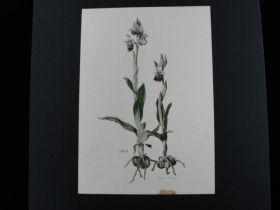 Claus Caspari (1911-80) Rare Early Original Watercolor Botanical Painting 1948 2
